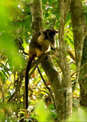 Lumholtz Tree kangaroo in the Curtain Fig national park