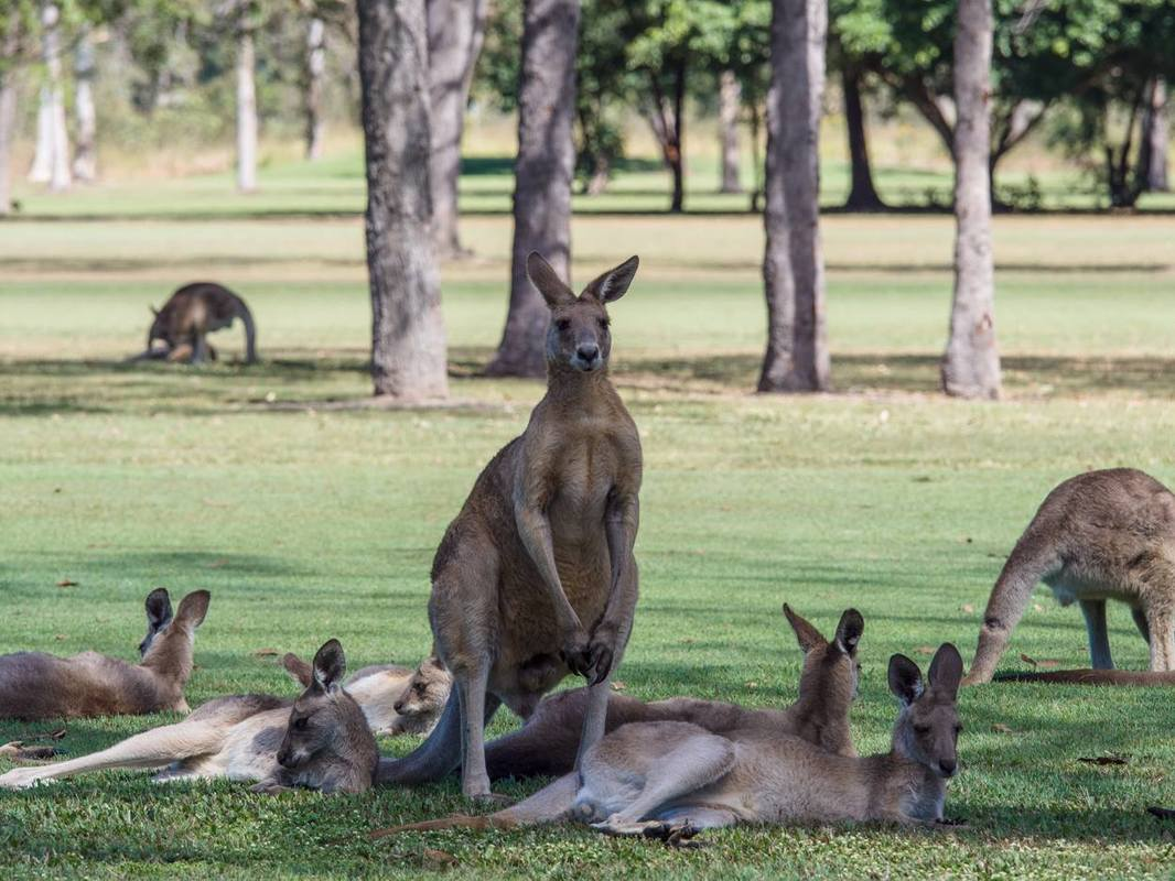 large male Eastern grey kangaroo