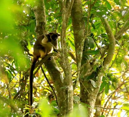 Lumholtz Tree kangaroo in the Atherton Tablelands